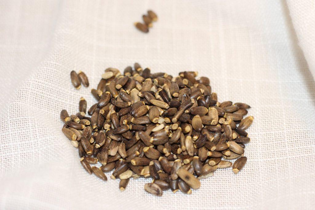 Máriatövis termése