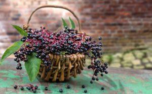 bodza elderberry health featured